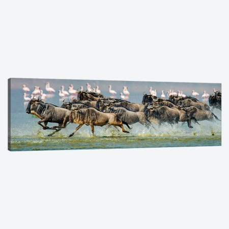 Stampeding Wildebeests, Ngorongoro Conservation Area, Crater Highlands, Arusha Region, Tanzania Canvas Print #PIM13946} by Panoramic Images Canvas Art