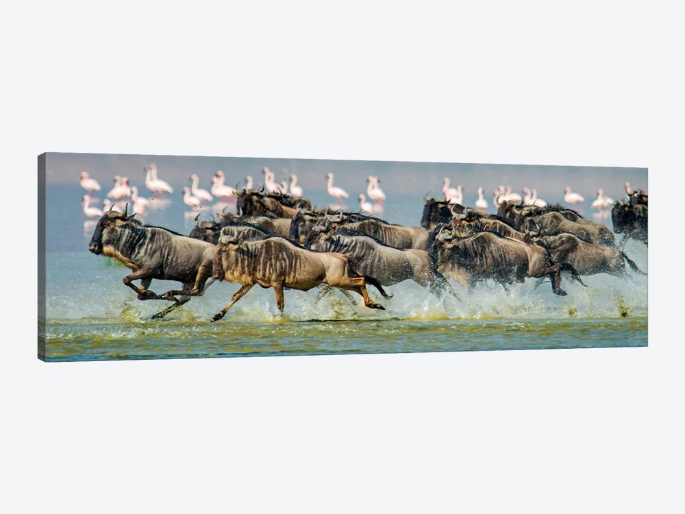 Stampeding Wildebeests, Ngorongoro Conservation Area, Crater Highlands, Arusha Region, Tanzania by Panoramic Images 1-piece Canvas Art