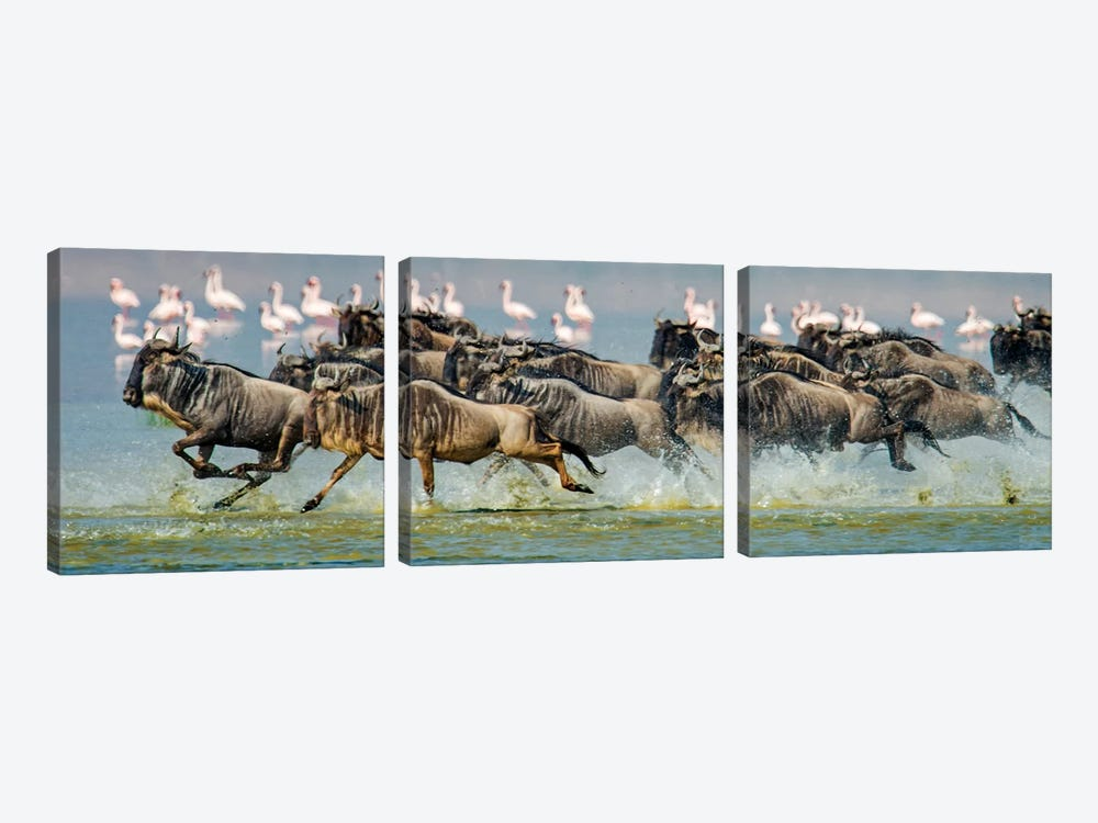 Stampeding Wildebeests, Ngorongoro Conservation Area, Crater Highlands, Arusha Region, Tanzania 3-piece Canvas Art