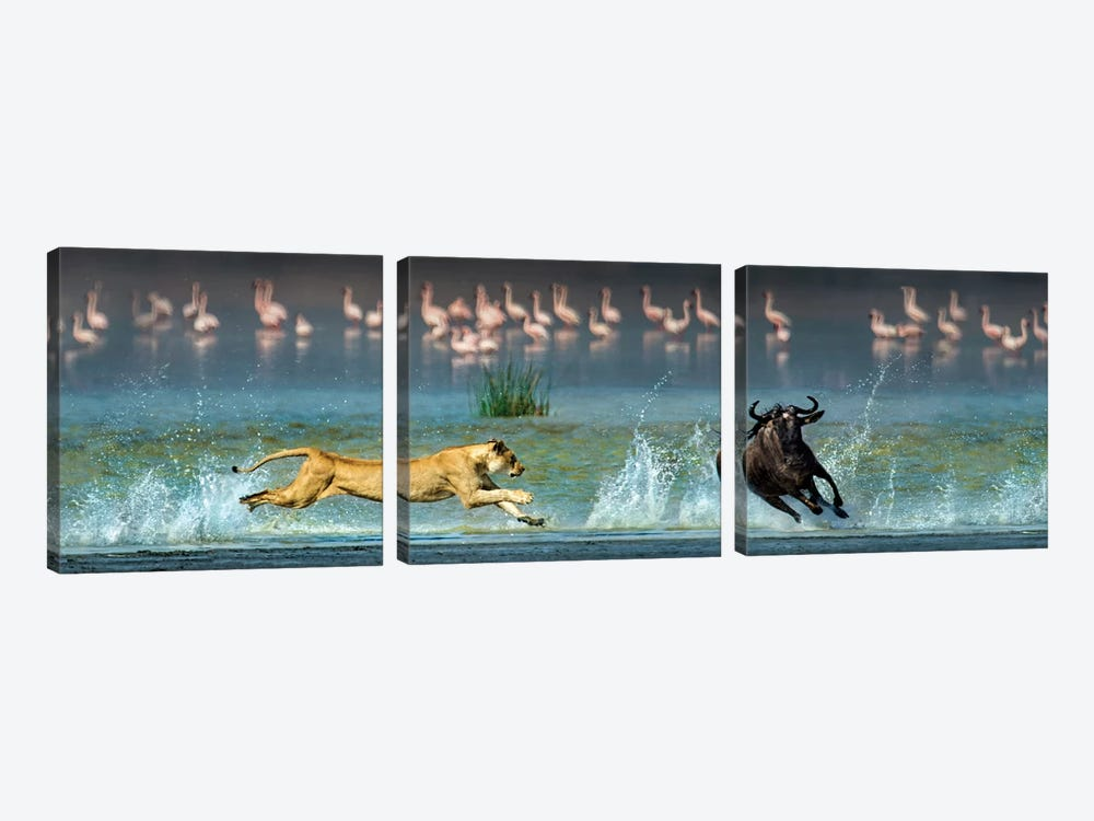 Preying African Lioness II, Ngorongoro Conservation Area, Crater Highlands, Arusha Region, Tanzania by Panoramic Images 3-piece Canvas Print
