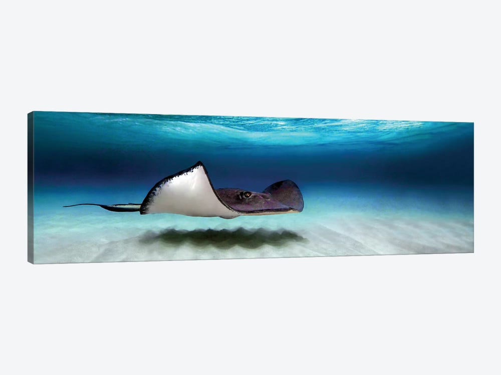 Southern Stingray, North Sound, Grand Cayman, Cayman Islands by Panoramic Images 1-piece Art Print