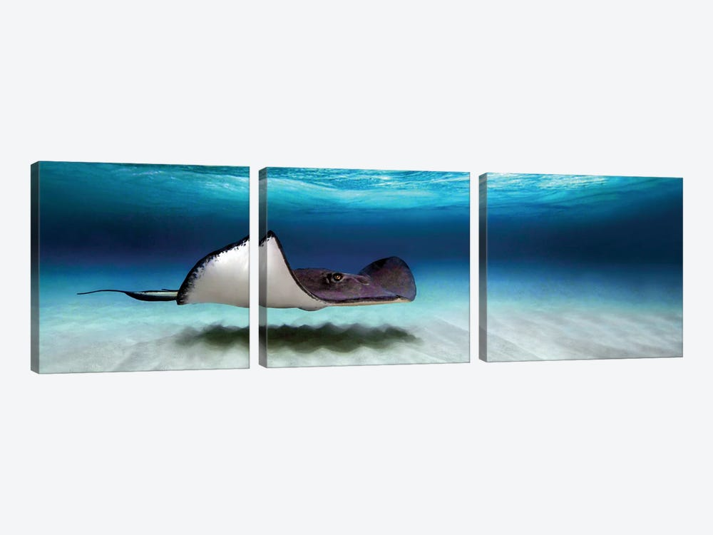 Southern Stingray, North Sound, Grand Cayman, Cayman Islands by Panoramic Images 3-piece Art Print
