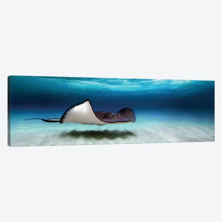 Southern Stingray, North Sound, Grand Cayman, Cayman Islands Canvas Print #PIM13949} by Panoramic Images Canvas Print