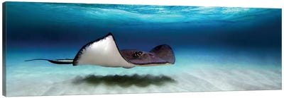 Southern Stingray, North Sound, Grand Cayman, Cayman Islands Canvas Art Print