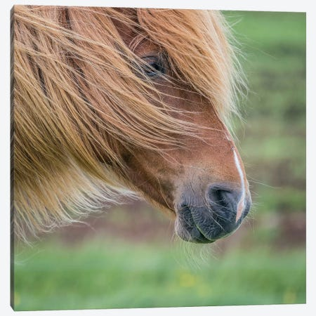 Icelandic Horse I Canvas Print #PIM14002} by Panoramic Images Art Print