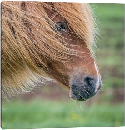 Icelandic Horse I Canvas Print #PIM14002