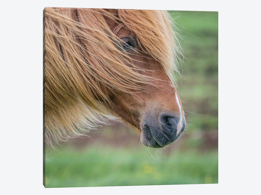 Icelandic Horse I 1-piece Canvas Art