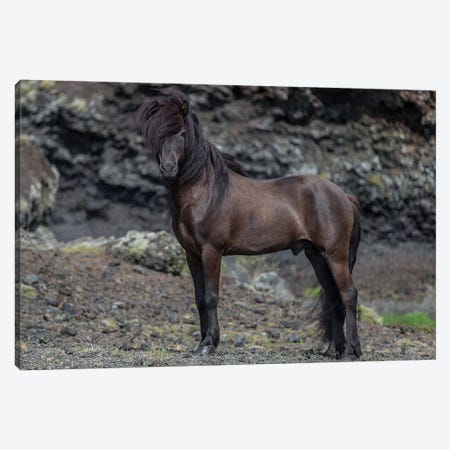 Icelandic Black Stallion I Canvas Print #PIM14003} by Panoramic Images Art Print