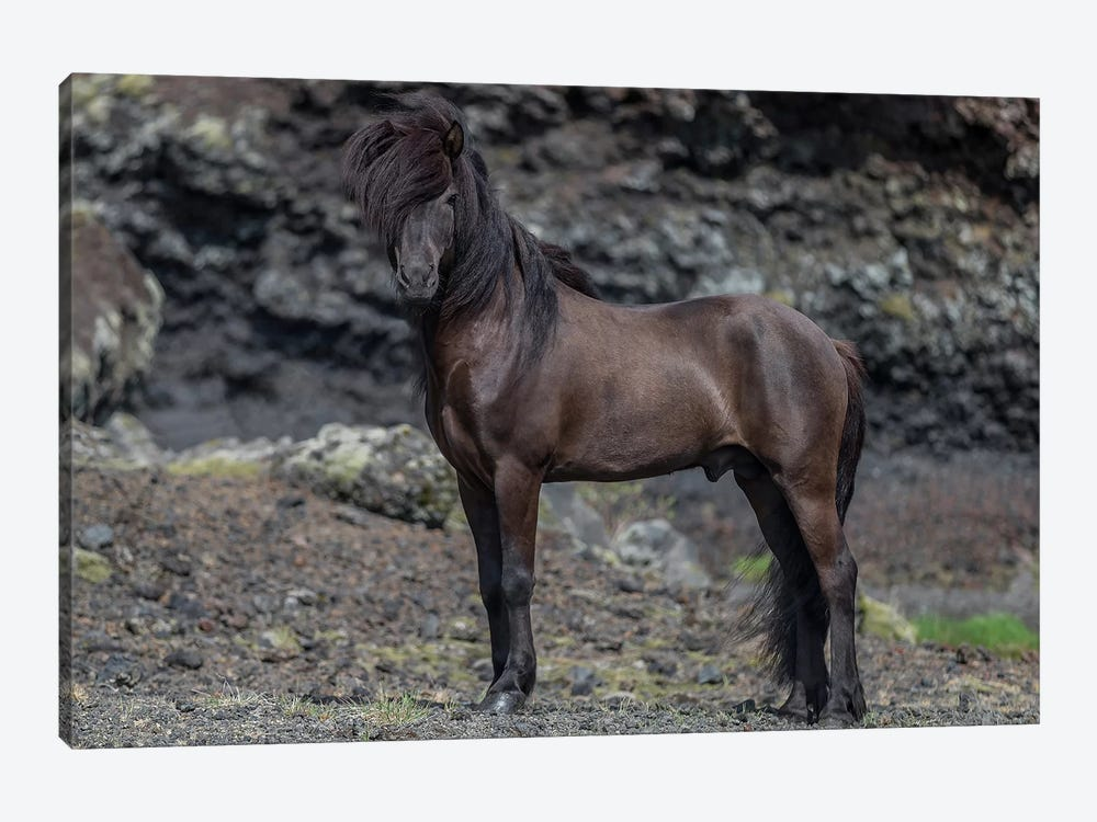 Icelandic Black Stallion I by Panoramic Images 1-piece Art Print