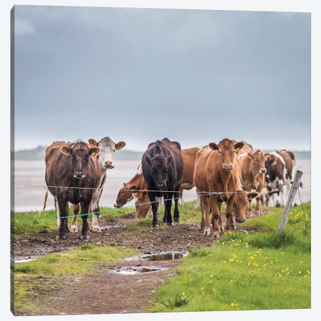 Herd of Grazing Cows, Iceland Canvas Print #PIM14005} by Panoramic Images Canvas Art
