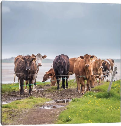 Herd of Grazing Cows, Iceland Canvas Art Print