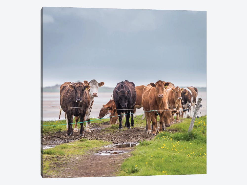 Herd of Grazing Cows, Iceland by Panoramic Images 1-piece Art Print