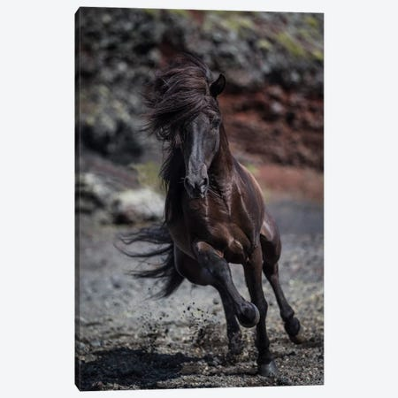 Icelandic Black Stallion II Canvas Print #PIM14006} by Panoramic Images Canvas Wall Art