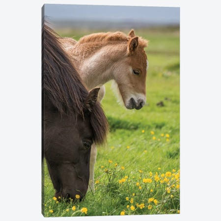 Purebred Icelandic Mare And Newborn Foal I Canvas Print #PIM14007} by Panoramic Images Canvas Art