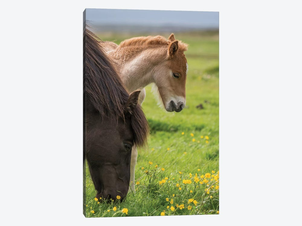 Purebred Icelandic Mare And Newborn Foal I 1-piece Canvas Print