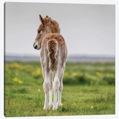 Purebred Icelandic Foal I Canvas Print #PIM14008} by Panoramic Images Canvas Print