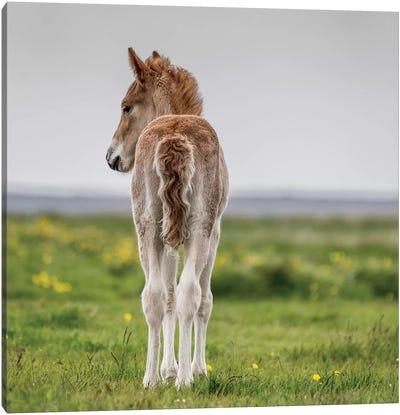 Purebred Icelandic Foal I Canvas Print #PIM14008