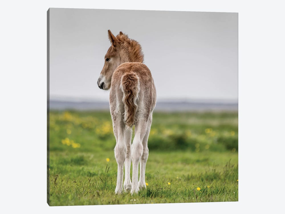 Purebred Icelandic Foal I by Panoramic Images 1-piece Canvas Wall Art