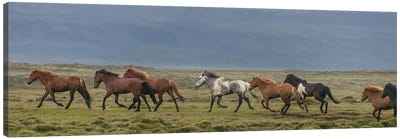 Herd of Icelandic Horses Running In The Countryside Canvas Print #PIM14009