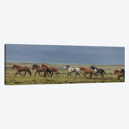 Herd of Icelandic Horses Running In The Countryside Canvas Print #PIM14009} by Panoramic Images Art Print