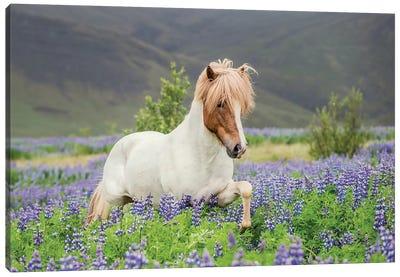 Trotting Icelandic Horse I, Lupine Fields, Iceland Canvas Print #PIM14010