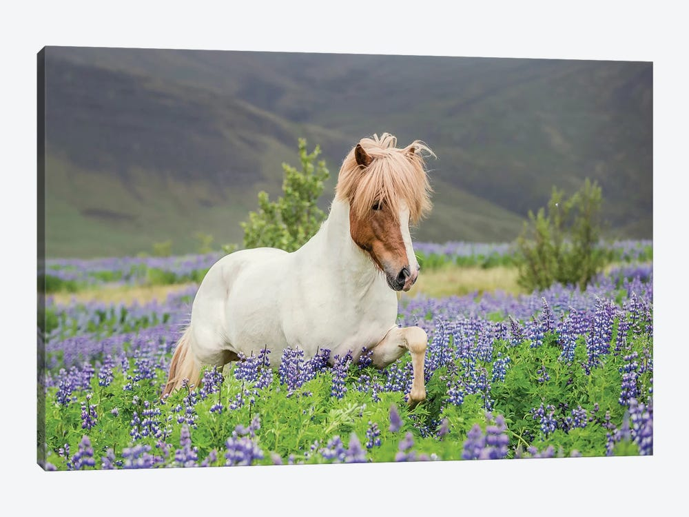 Trotting Icelandic Horse I, Lupine Fields, Iceland by Panoramic Images 1-piece Art Print