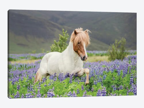 Trotting Icelandic Horse I Lupine Fields Iceland Canvas Artwork Icanvas