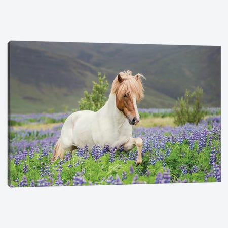 Trotting Icelandic Horse I, Lupine Fields, Iceland Canvas Print #PIM14010} by Panoramic Images Canvas Artwork