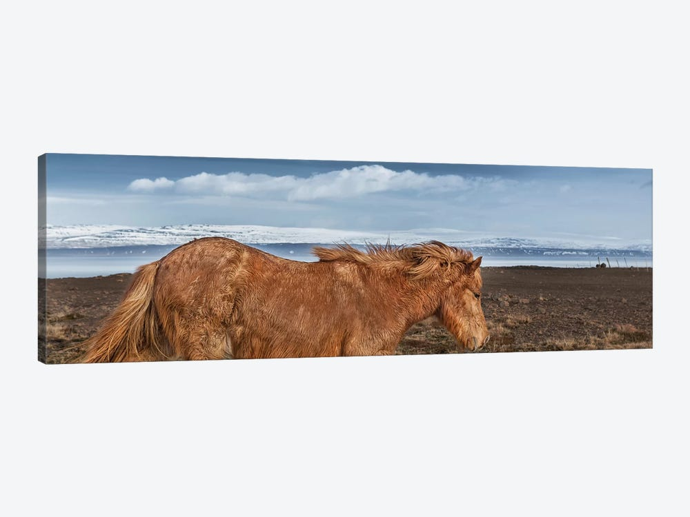 Icelandic Horse II by Panoramic Images 1-piece Canvas Artwork