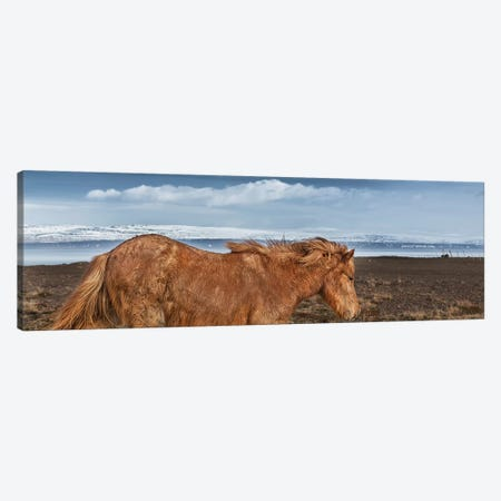 Icelandic Horse II Canvas Print #PIM14011} by Panoramic Images Canvas Wall Art