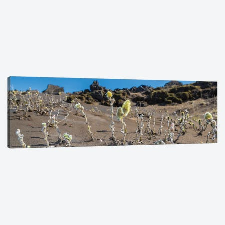 Woolly Willow, Black Sands, Iceland Canvas Print #PIM14012} by Panoramic Images Canvas Wall Art