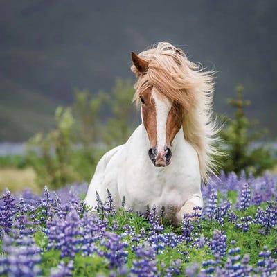 Trotting Icelandic Horse Ii Lupine Fields Iceland Art