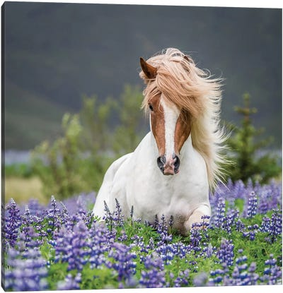 Trotting Icelandic Horse II, Lupine Fields, Iceland Canvas Art Print