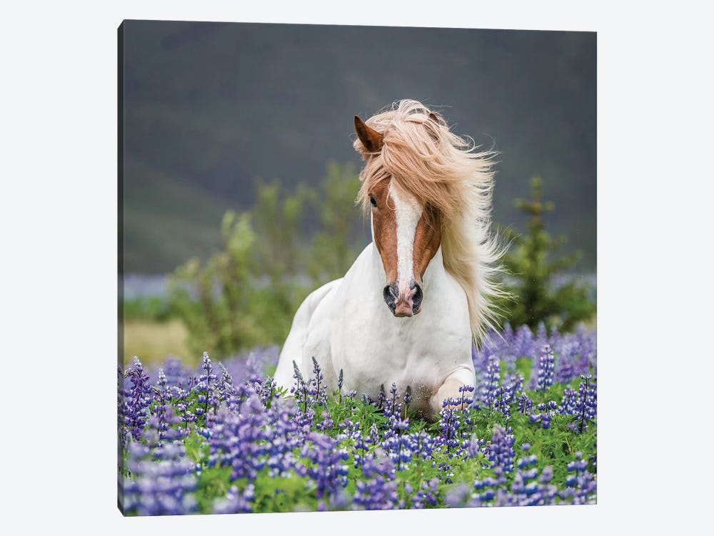 Trotting Icelandic Horse II, Lupine Fields, Iceland by Panoramic Images 1-piece Canvas Art Print