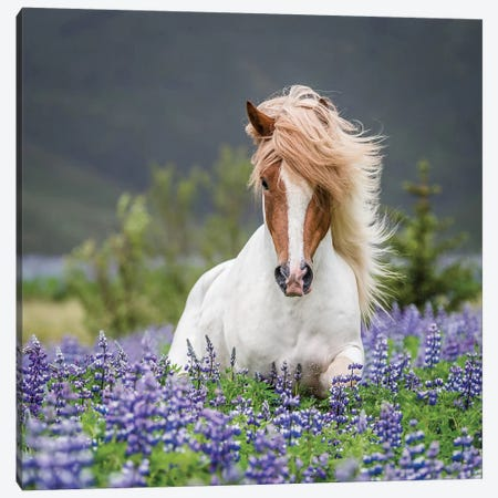 Trotting Icelandic Horse II, Lupine Fields, Iceland Canvas Print #PIM14016} by Panoramic Images Canvas Art Print