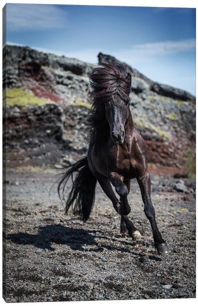 Icelandic Black Stallion III Canvas Print #PIM14018