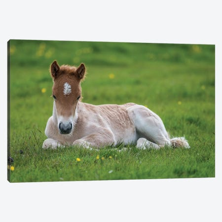 Purebred Icelandic Foal II Canvas Print #PIM14019} by Panoramic Images Canvas Art
