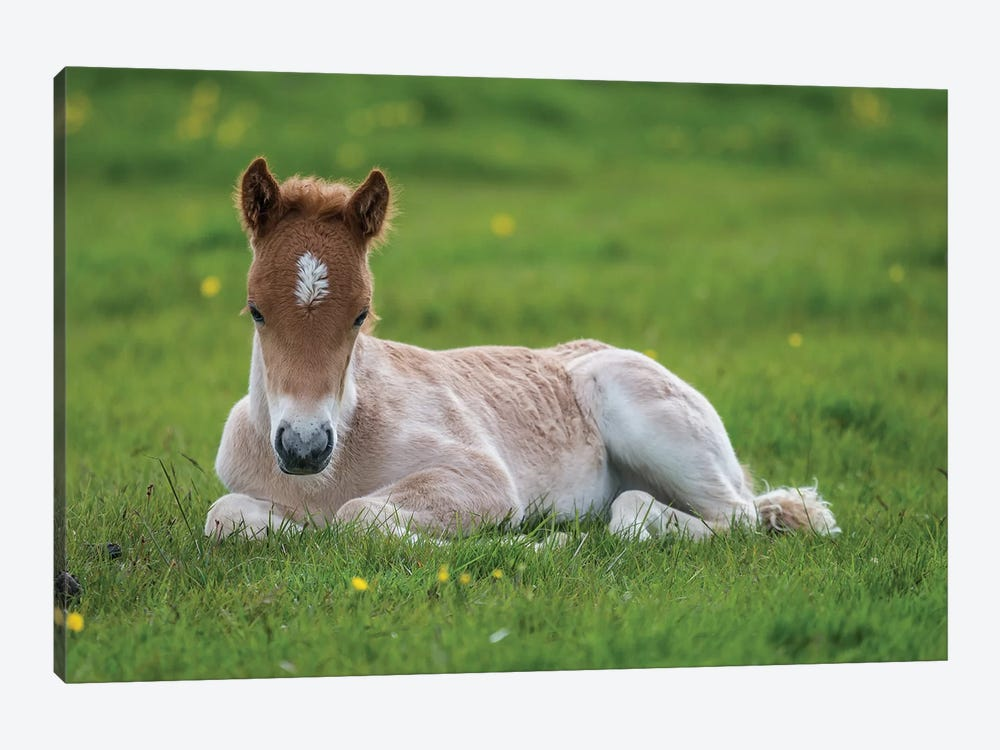 Purebred Icelandic Foal II by Panoramic Images 1-piece Canvas Artwork