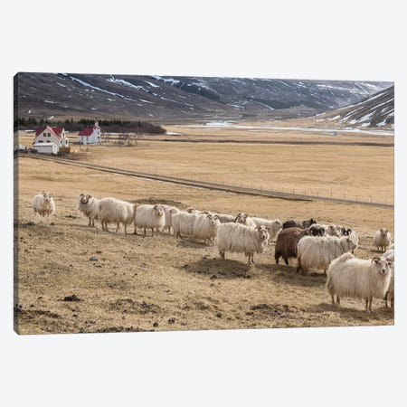 Flock of Icelandic Sheep Canvas Print #PIM14020} by Panoramic Images Canvas Print