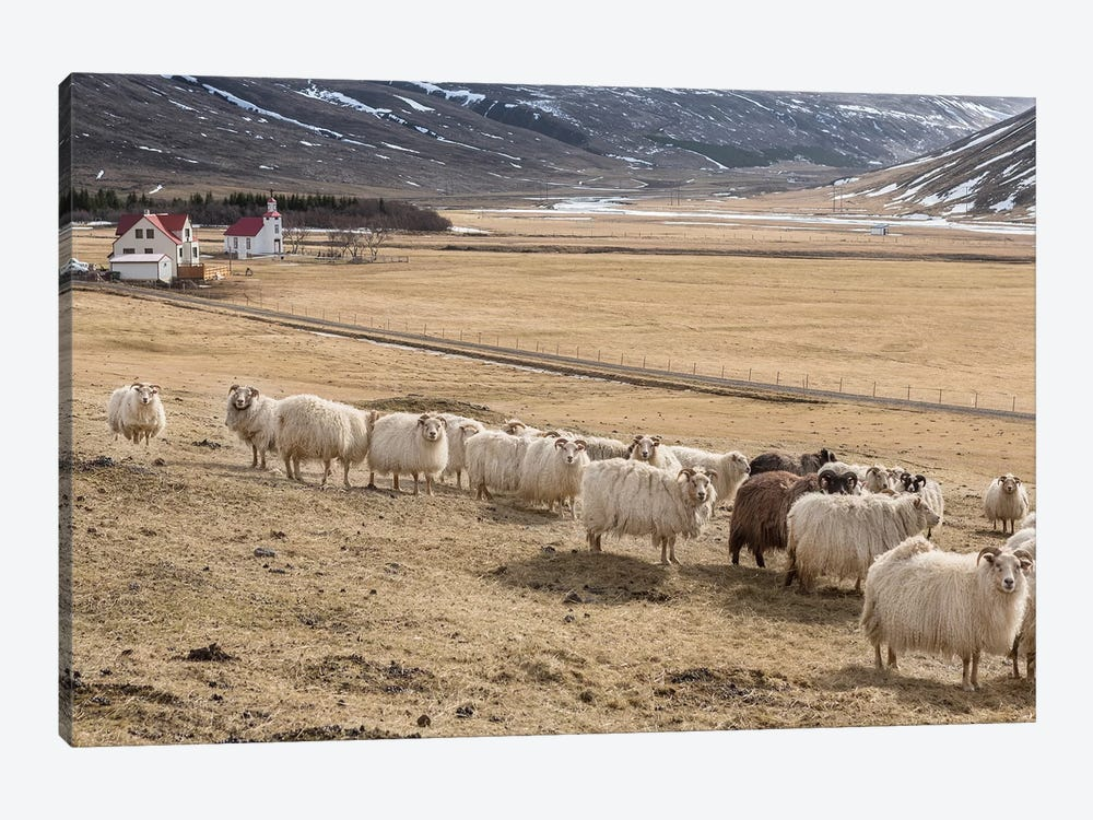 Flock of Icelandic Sheep by Panoramic Images 1-piece Canvas Artwork