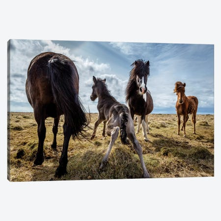Purebred Icelandic Horse Family Canvas Print #PIM14028} by Panoramic Images Art Print