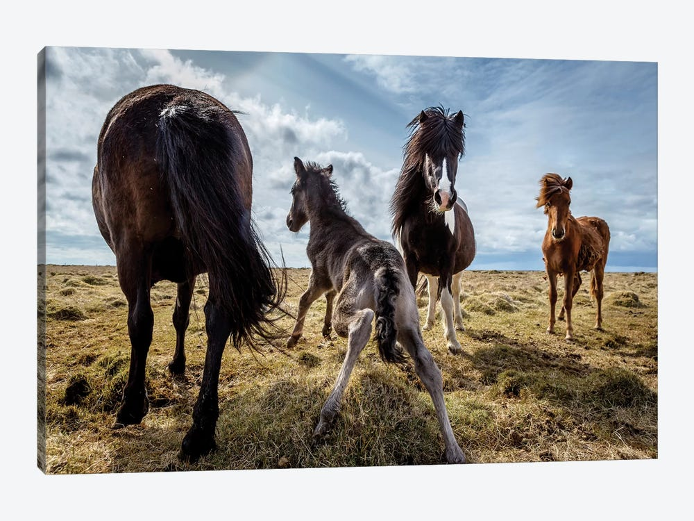 Purebred Icelandic Horse Family by Panoramic Images 1-piece Canvas Art