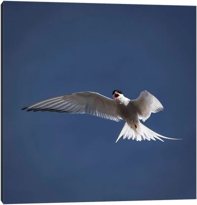 Arctic Tern I Canvas Art Print