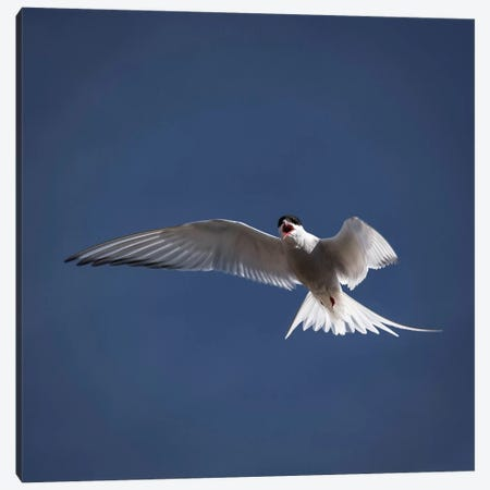 Arctic Tern I Canvas Print #PIM14032} by Panoramic Images Canvas Art