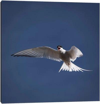 Arctic Tern I Canvas Art Print