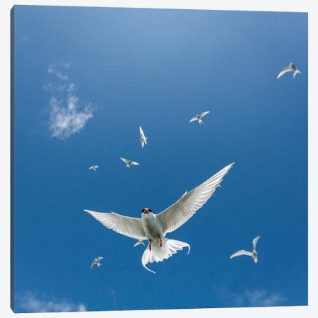 Arctic Tern II Canvas Print #PIM14033} by Panoramic Images Canvas Art