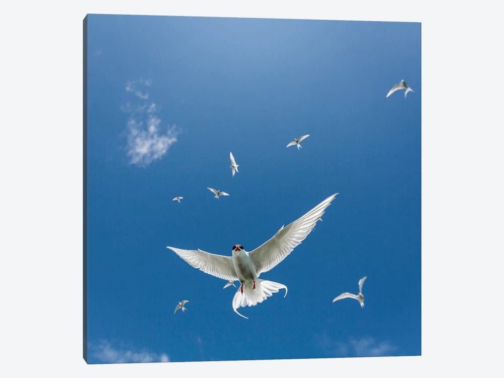 Arctic Tern II by Panoramic Images 1-piece Canvas Wall Art