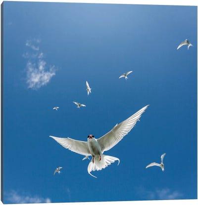 Arctic Tern II Canvas Art Print