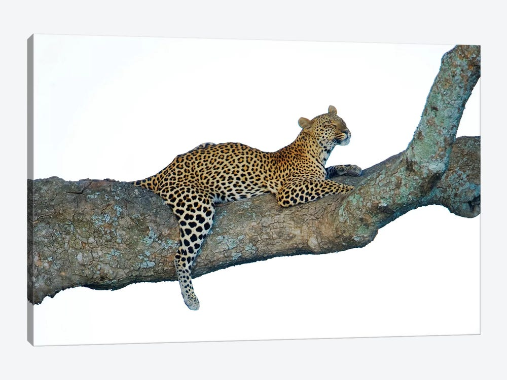 Leopard, Serengeti National Park, Tanzania by Panoramic Images 1-piece Art Print