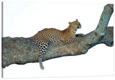 Leopard, Serengeti National Park, Tanzania Canvas Art Print